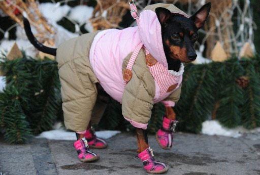 Chihuahua Cold Weather Goldenacresdogs Com